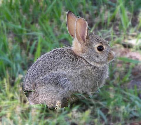 Rabbit in Italian is coniglio