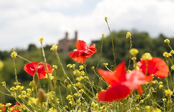 Poppies in Le Marche