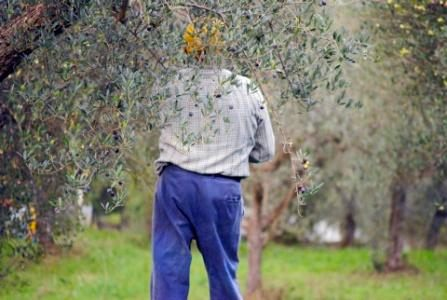 Olives Picking in Abruzzo
