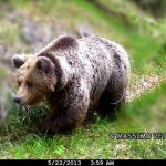 Ignorance in Italy Threatens the Life of Daniza the Mother Bear