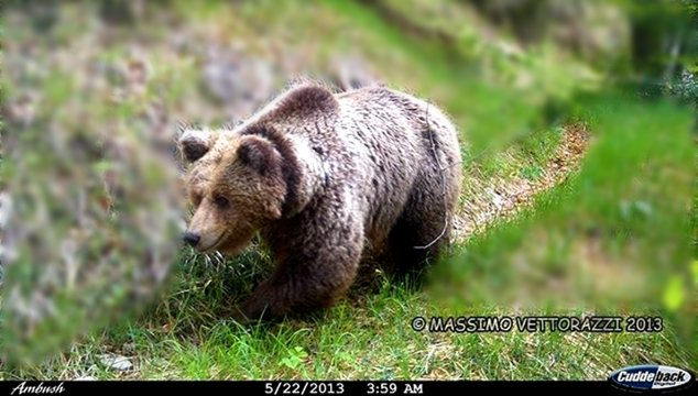 Daniza the bear - tried to survive an attack of ignorance and failed, alas